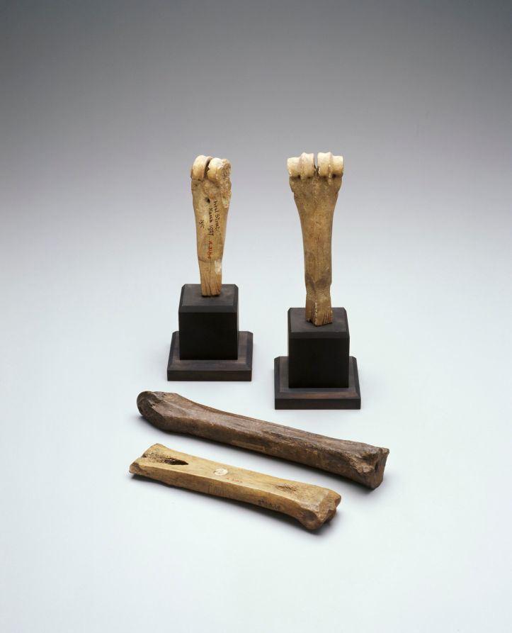 Four early modern pinners bones made from what appears to be bovine shanks