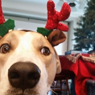 A dog with antlers on his head